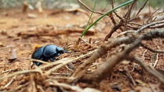 Black beetle walks away in Ano Kastania Stock Footage