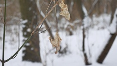 Lonely dry leaf sways in the wind on a tree branch in the winter forest winter Stock Footage