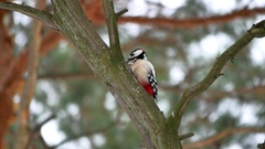 Bird woodpecker knocking red feathers on wood wildlife Arkistovideo