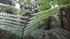Ferns growing in the forests of Moorea in French Polynesia. Stock Footage