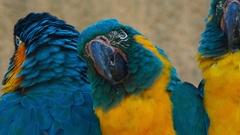 Ultra closeup shot of 3 blue-throated macaws - ara glaucogularis Stock Footage