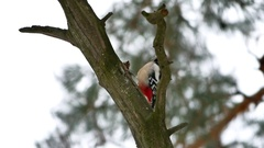 Bird woodpecker knocking on red feathers wood wildlife Arkistovideo