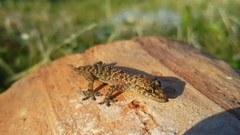 Mediterranean house gecko on a rock Stock Footage