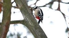 Woodpecker bird red feathers wildlife knocking on wood Arkistovideo