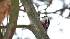 Bird woodpecker red feathers wildlife knocking on wood Arkistovideo