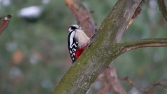 Bird woodpecker red feathers knocking on wood wildlife Arkistovideo