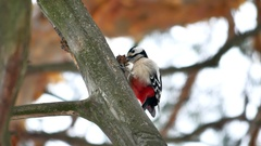 Woodpecker red bird feathers wildlife knocking on wood Arkistovideo