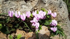 Pink flowers on a rock at Monemvasia Stock Footage