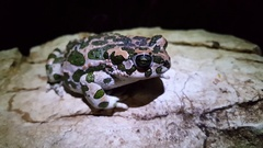 European green toad winks with his eye Stock Footage
