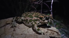 European green toad moving on a rock Stock Footage