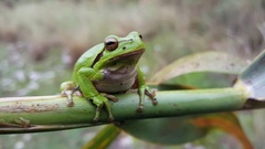 The green tree frog sitting on a branch Stock Footage