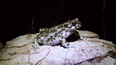 European green toad on a rock at night Stock Footage