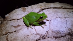 The green tree frog on a rock at night Stock Footage