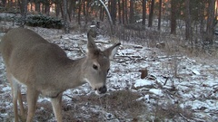Closeup of White-tailed Deer Doe Feeding in Forest in Fall Stock Footage
