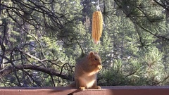Gray Fox Squirrel Feeding on Hanging Corn Cob in Black Hills Stock Footage