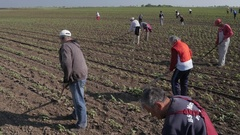 Group of workers preparing bio organic cultivated field for vegetables. Stock Footage