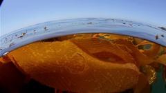 California kelp bed Stock Footage