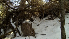 Cottontail Rabbit Bunny in Brush Thicket in Winter Snow Stock Footage