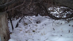 Eastern Cottontail Rabbit in Brushpile in Winter Snow Stock Footage