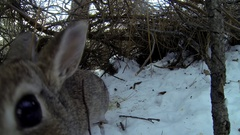 Cottontail Rabbit in Brush Pile Thicket in Winter Snow Stock Footage