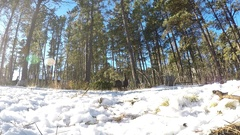 North American Wild Turkey Flock Feeding in Snow Ground Level Stock Footage