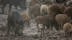 Family of wild pigs in the rain Stock Footage