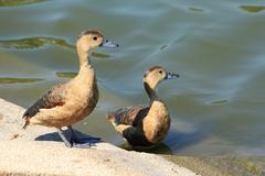 Ducks interest something Stock Photos