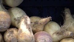 Rutabaga ruta baga veggie vegetable Stock Footage