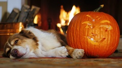 Dog napping near a carved pumpkin. Against the background of a burning fireplace Stock Footage