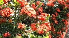 Red ixora flower on the tree Stock Footage