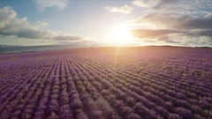 Flight over lavender meadow. Stock Footage