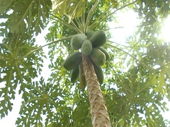 Papaya tree Stock Footage