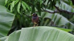 Bird hill mynah sits on green palm leaf. Gracula religiosa bird Stock Footage