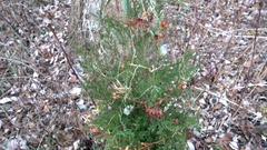 Natural pagan christmas tree Stock Footage