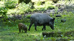 Wild boar with a baby in a park Stock Footage