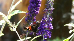 Peacock butterfly on a buddleja buzz Stock Footage