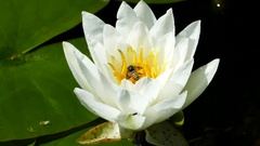 White lotus flower with a hornet Stock Footage