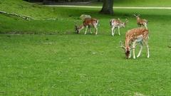 Deers eating grass in Arhus Stock Footage
