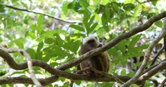 White-headed lemur (Eulemur albifrons) on tree Stock Footage