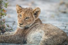 Lion cub laying down in the Kruger. Stock Photos