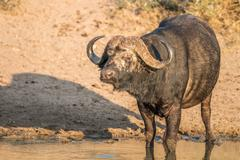 Starring Buffalo bull in the Kruger. Stock Photos