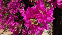 Close up bougainvillea flowers on the wind Stock Footage