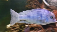 Cichlids are fish from the family Cichlidae Stock Footage