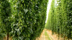 Rows of ripe hop cones on the field Stock Footage