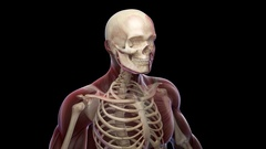 Animation showing all the Skeletal System with muscles. Alpha included. Stock Footage