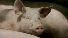 Industrial Pig Farm Stock Footage