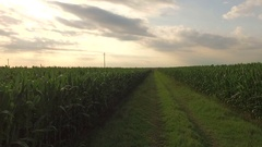 Cultivated field on a plain, field corn at sunset About agriculture, email Stock Footage