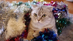 Cute scottish fold cat in christmas tinsel. Stock Footage