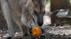 Red-necked Wallaby eating fruit - Macropus rufogriseus Stock Footage