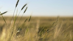 Bugs And Rye Stock Footage